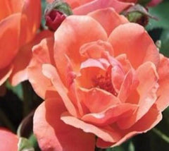 Coral KnockOut® Rose