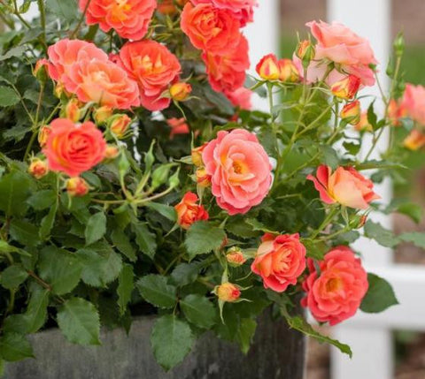 Easy Elegance® Coral Cove Rose