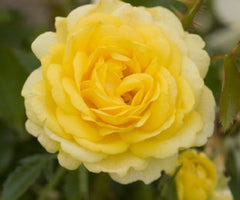 High Voltage Yellow Easy Elegance Rose