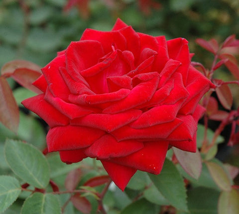 Easy Elegance®Kashmir Rose