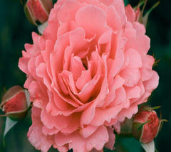 Easy Elegance® Kiss Me Rose
