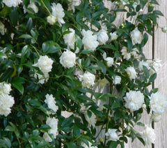 Lady Banks White Climbing Rose