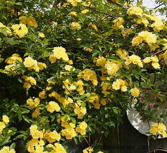 Lady Banks Yellow Climbing Rose