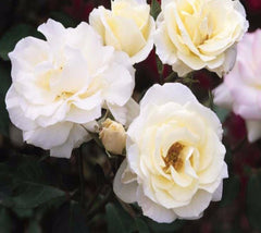 Macys Pride White Easy Elegance Rose