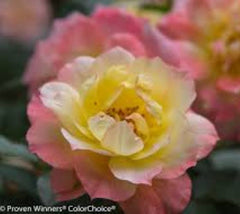 Oso Easy® Italian Ice Shrub Rose