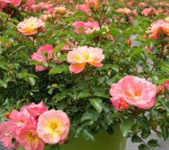 Peach Drift® Groundcover Rose Rosa 'Meiggili'