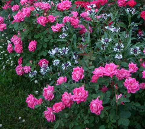 Pink Double Knock Out®Rose