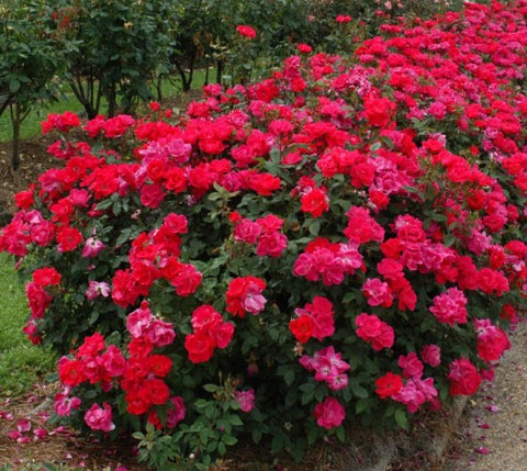 "Red ""Double"" Knockout Rose"