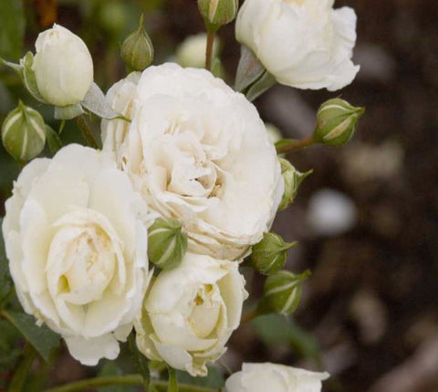 Snowdrift White Easy Elegance Rose
