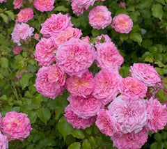 Sweet Drift® Pink Groundcover Rose