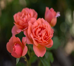 Easy Elegance® Sweet Fragrance Rose