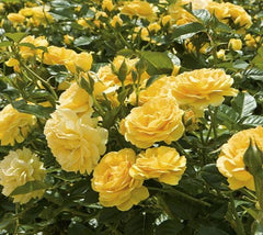 Julia Child™ Floribunda Rose