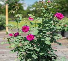 Brindabella Purple Prince™ Shrub Rose