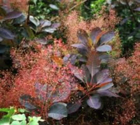 Grace Red Smokebush Tree ( cotinus )