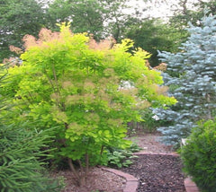 Golden Spirit Smokebush Tree (cotinus)
