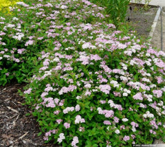 Little Princess Spirea Japonica