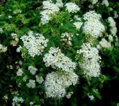 Bridal Wreath (reeves)  White Spirea Japonica