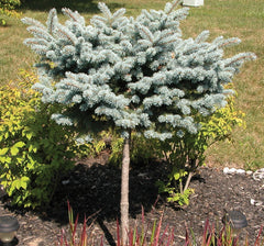 Dwarf Globe Blue Spruce ( Tree Form )