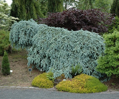 'The Blues' Weeping Blue Spruce
