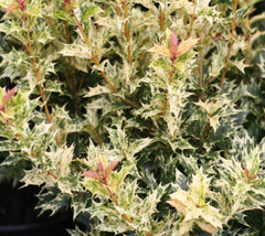 Goshiki Variegated Holly Tea Olive