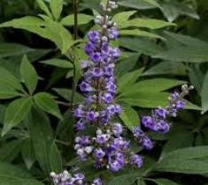 Shoal Creek Vitex ( chaste tree )  Vitex agnus-castus 'Shoal Creek'