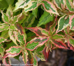 My Monet® 'Sunset' Dwarf Weigela