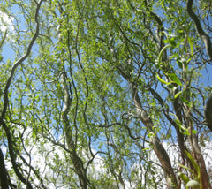 Corkscrew Weeping Willow Tree   Salix matsudana 'tortuosa'