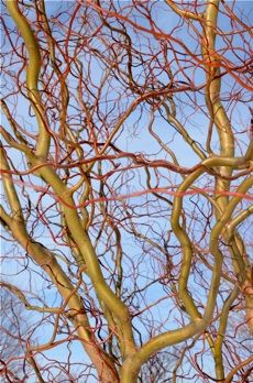 Scarlet Curls Corkscrew Weeping Willow New Life Nursery
