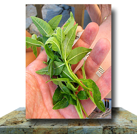 Fresh Basil Wrapped Canvas Print