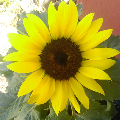 Seed Body Care Sunflower Benefits
