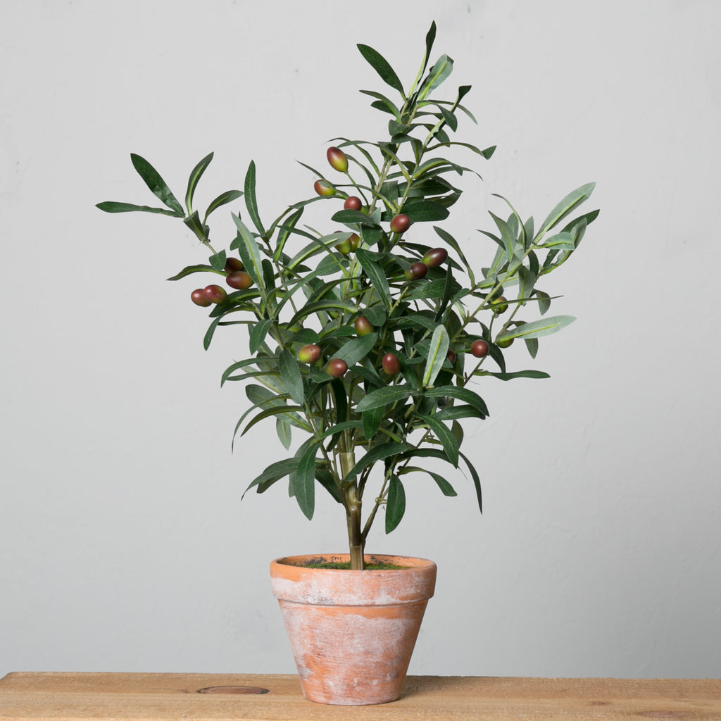 Potted Olive Topiary