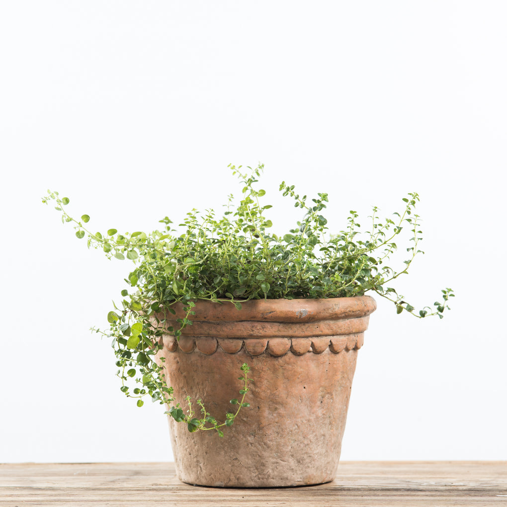 TERRA COTTA TAPERED PLANTER POT WITH SCALLOPED RIM