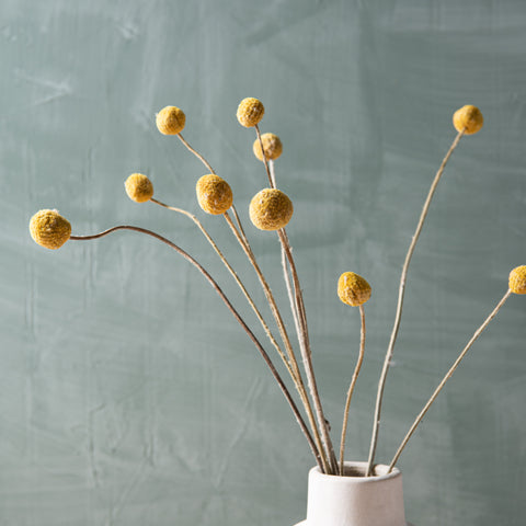 dried real golden craspedia stem bunch