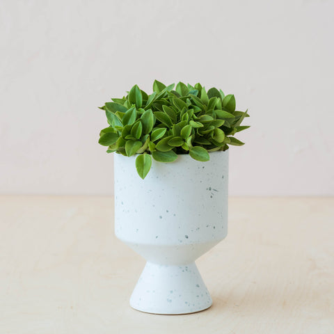 live pixie lime peperomia plant