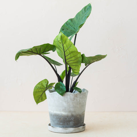 live dark star alocasia or elephant ear plant