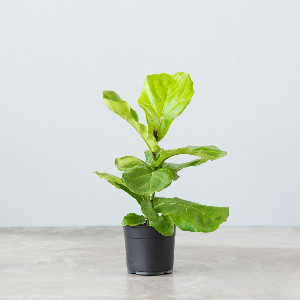 small fiddle leaf fig plant