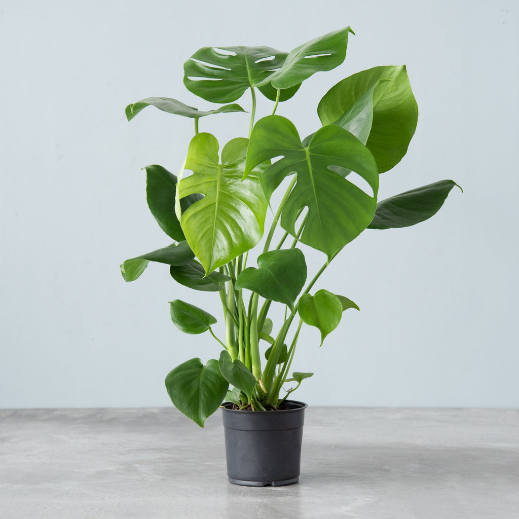 live pihlodendron monstera plant