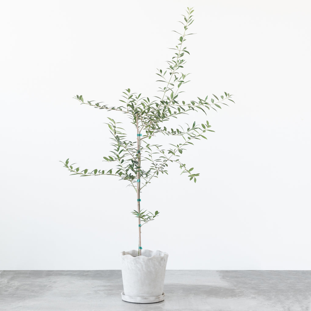 small live olive tree