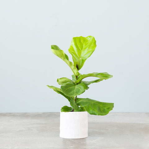 live fiddle leaf fig plant