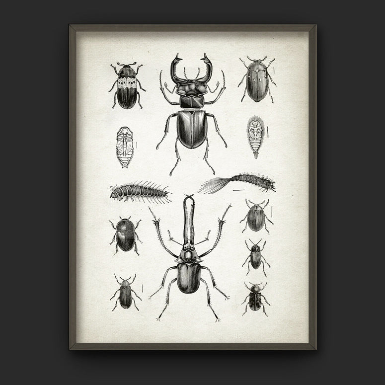 Beetles Vintage Illustration Bookplate Print (A4)