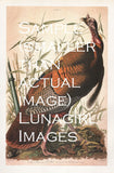 Audubon's Birds of America: 110 Prints - Lunagirl