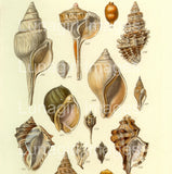 Antique Seashell Prints: 64 Images