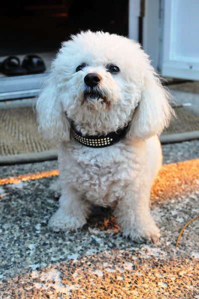 quistel, bichon frise, dog, grooming, breed,