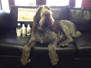 Italian Spinone, Quistel, dog, pooch & puddy cat), competition