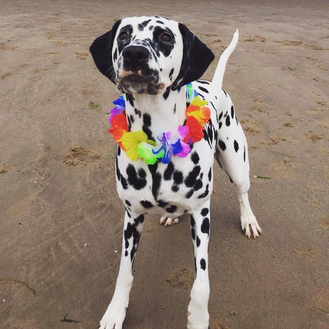quistel competition winner nala the dalmatian