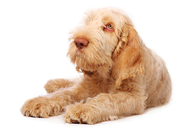 quistel, italian spinone, dog, puppy