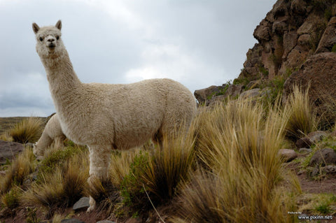 Alpaca from Bolivia