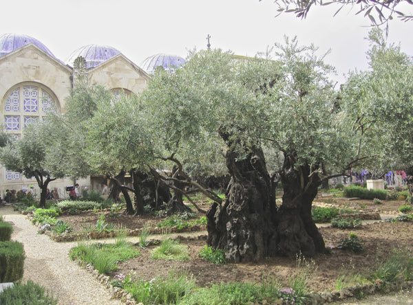 Garden of Gethsemane in Jerusalem