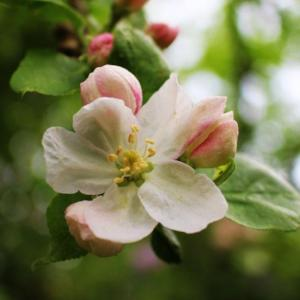 10 - Crab Apple (Pommier sauvage)