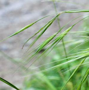 36 - Wild Oat (Folle Avoine)